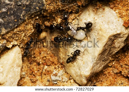 small black ants fighting over a larva - stock photo