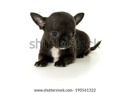 small black Chihuahua puppy lies - stock photo