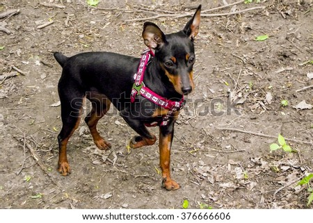 small black dog in a red collar standing on the gray ground