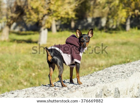 small black dog in jacket on the fence on the background of autumn