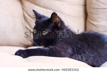 small black fluffy  kitten on a brown background, thoroughbred, three months, with yellow bright big eyes, lying , watching carefully,