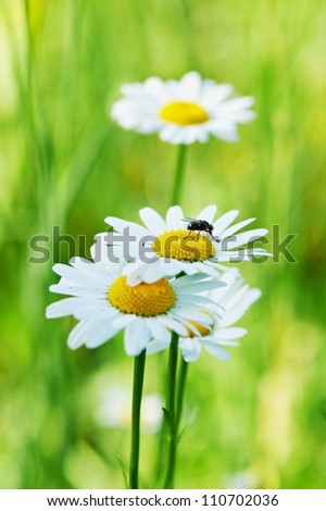 Small black fly on the camomile flower - stock photo