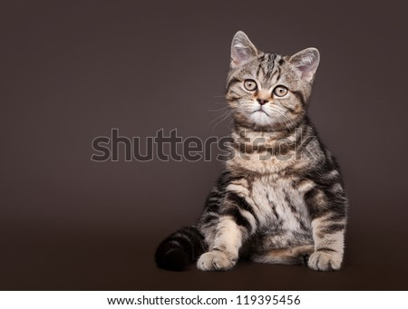 small black marble british kitten on dark brown background - stock photo
