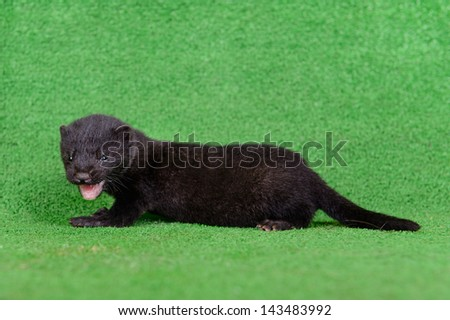 small black mink animal on green background - stock photo