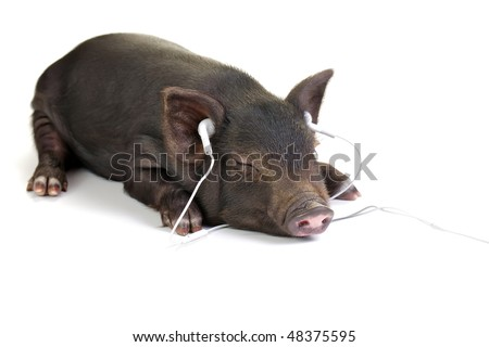 Small black pig lying down and listening to music through white headphones. - stock photo