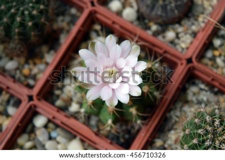 Small blooming cactus gymnocalycium anisitsii close up - stock photo