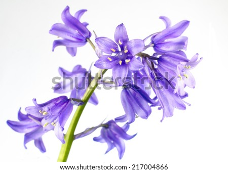 Small Blue Bells Flower Isolated on White Background