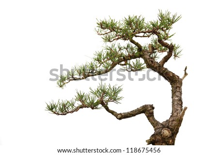 Small bonsai tree isolated on a white background, Informal upright style . - stock photo