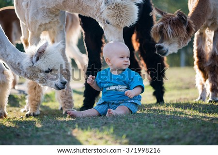 Small boy sitting on pasture with alpacas. Flock of alpacas and small boy. - stock photo