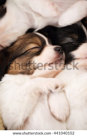 small breed puppies Papillon sweetly sleeping on fur