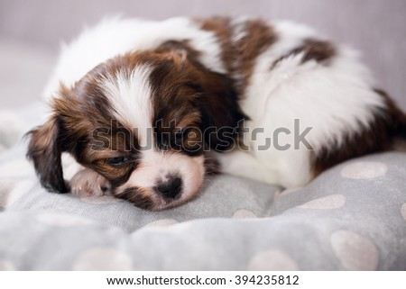 small breed puppy Papillon sweetly sleeping on pillow - stock photo