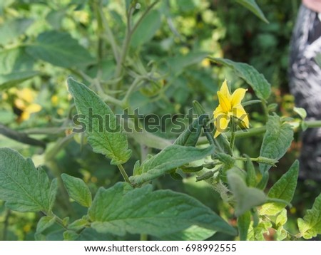 Small bright yellow flower blossom tomato stock photo image small bright yellow flower blossom of a tomato plant among its foliage in the vegetable mightylinksfo