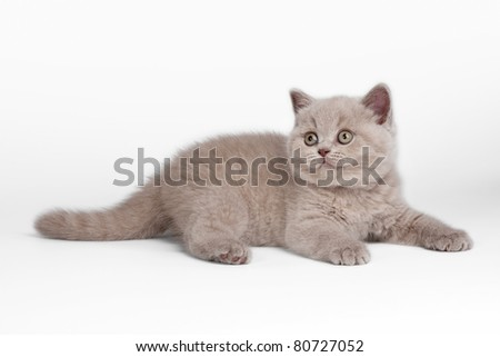 Small british kitten on white background