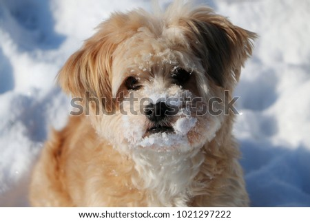 small brow dog portrait with snow in the face