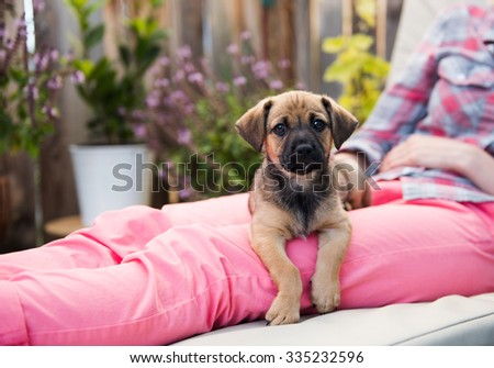 Small Brown and Black Terrier Mix Puppy Relaxing on Lap - stock photo