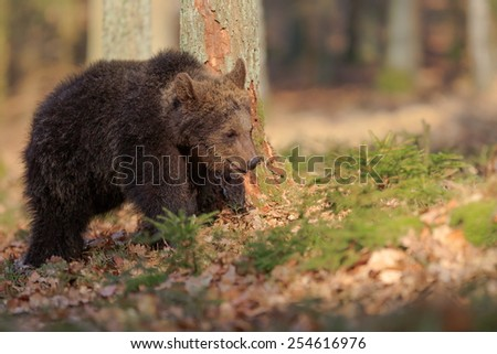 small brown bear hurry up - stock photo