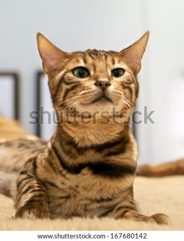 Small brown Bengal cat sitting and looking, curious Bengal cat, animal close up, curious interesting young cat, expressive Bengal cat close up, brown happy cat - stock photo