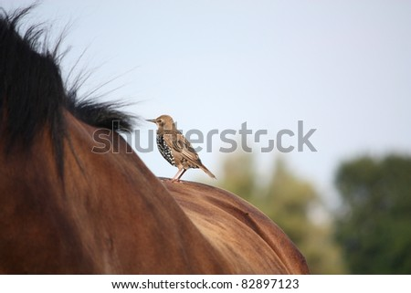 Small brown bird standing on the brown horse back - stock photo