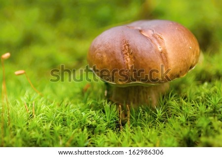 Small brown Boletus growing in autumn green moss - stock photo