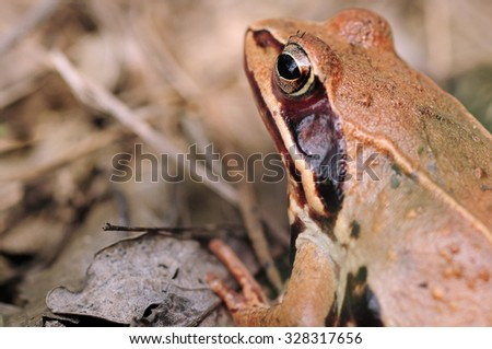 small brown frog macro focus on eye in natural brown background