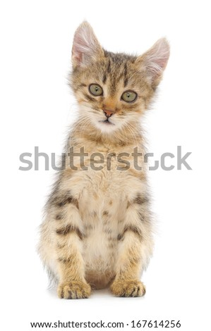 Small brown kitten on a white background