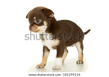 Small brown puppy chihuahua - stock photo