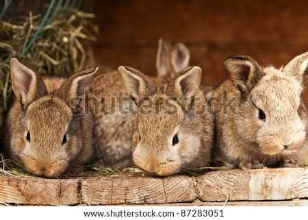 small brown rabbits - stock photo