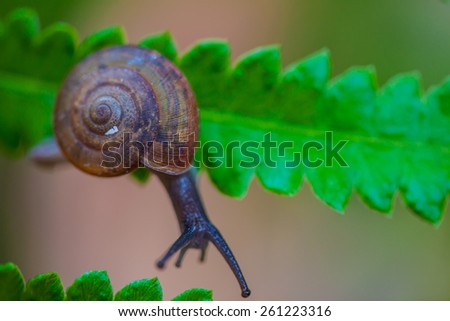 small brown snail on a green leaf - stock photo