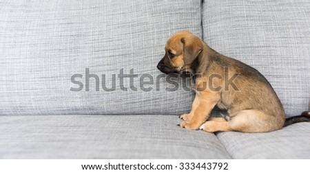 Small Brown Terrier Mix Puppy Falling Asleep on Gray Sofa - stock photo