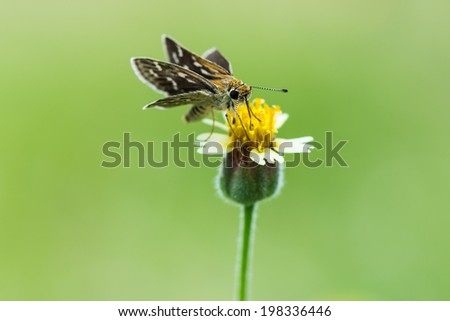 small butterfly seeking nectar on a flower - stock photo