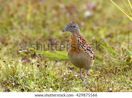 Small Buttonquail