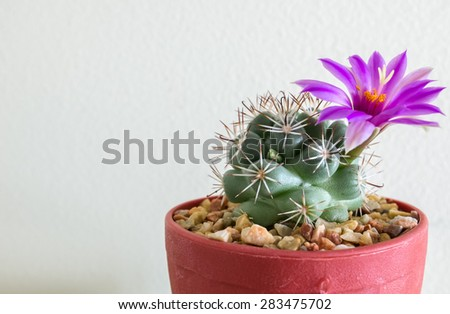 Small Cactus with Bloom Flower in The Flowerpot at The Corner on White Background - stock photo