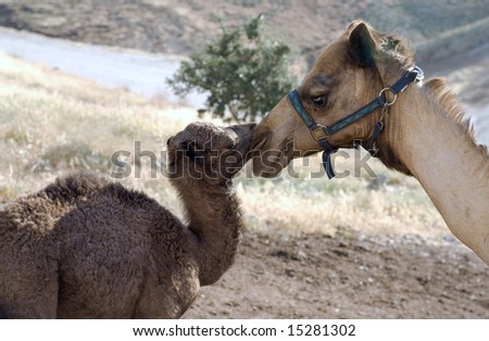 Small camel with its mom.