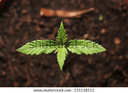 Small cannabis plant in a pot