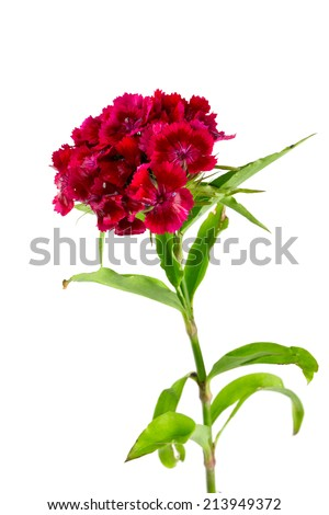 small carnation (dianthus barbatus) flowers isolated on white - stock photo
