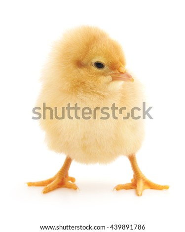 Small chicken isolated on a white background.
