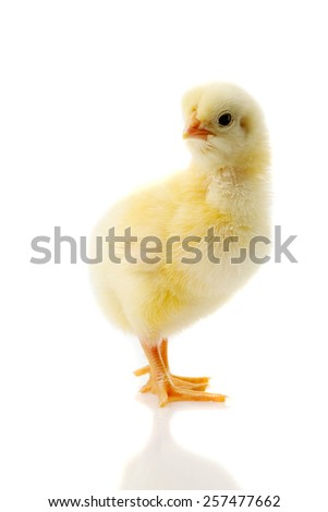 small chicken on a white background