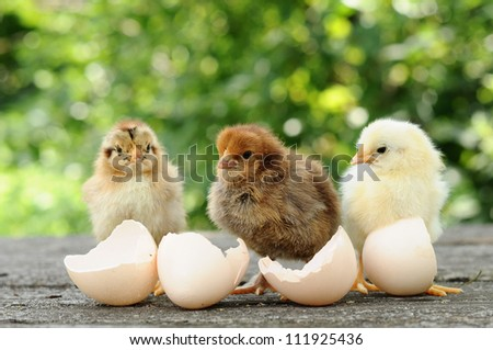 Small chicks and egg shells - stock photo