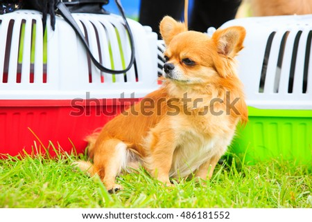 Small chihuahua at the dog show. Portrait of cute puppy