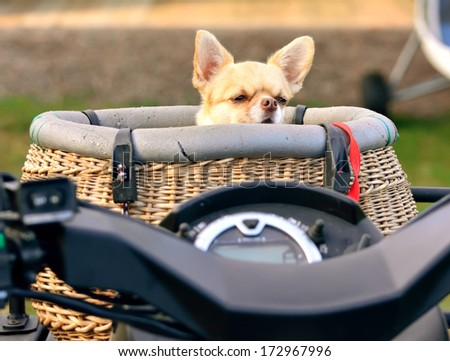 Small chihuahua dog standing and looking at the camera - stock photo