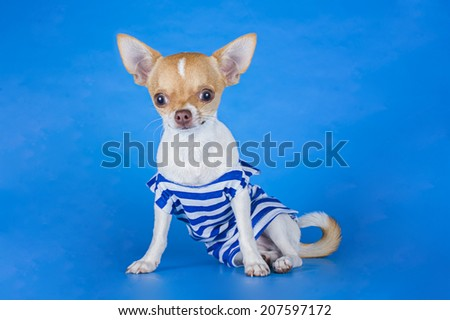 small chihuahua dressed as a cabin boy on a blue background
