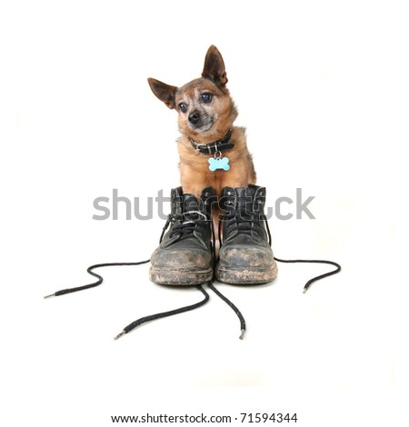 small chihuahua mix in a pair of dirty boots - stock photo