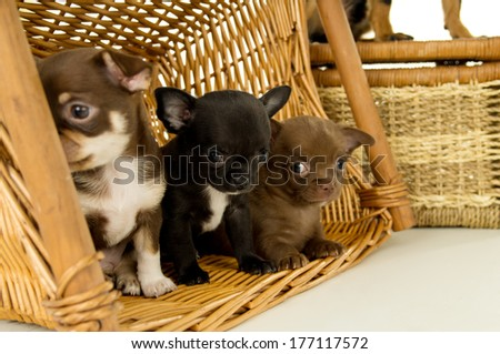Small chihuahua puppies for background baskets - stock photo