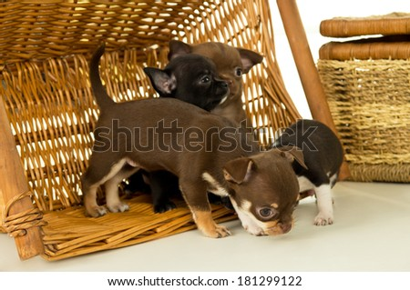 Small chihuahua puppies playing in a basket - stock photo