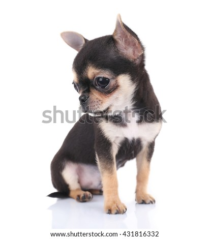 Small chihuahua puppy on the white background - stock photo