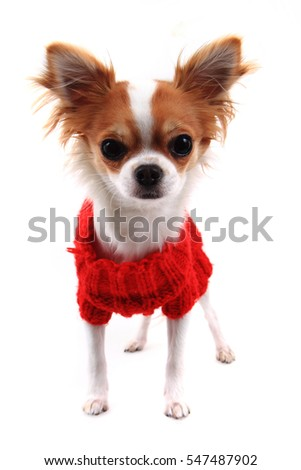 small chihuahua Sofia in red clothes isolated on the white background