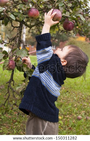 Small child picking a red apple from a tree.      - stock photo