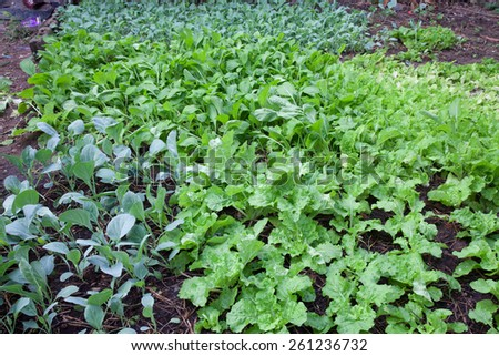 Small Chinese cabbage - stock photo
