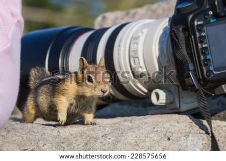 small chipmunk standing on a large rock looking and figuring out who's watching - stock photo