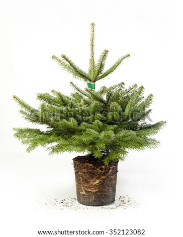 small christmas tree with roots and dirt from pot - Small Black Christmas Tree